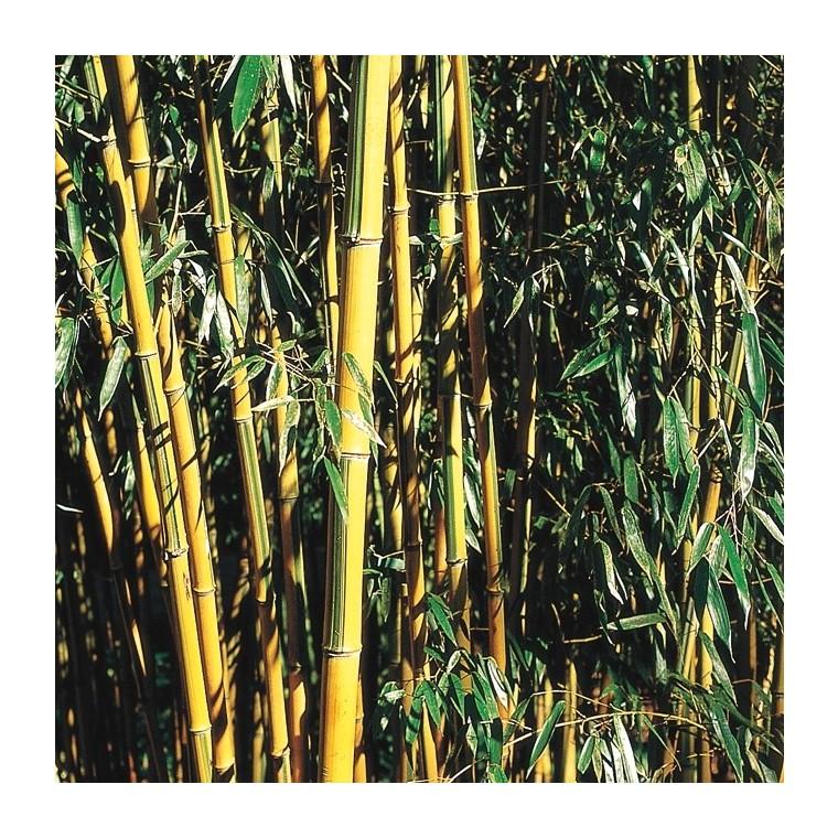 Bambou moyen pot de 3L 154962