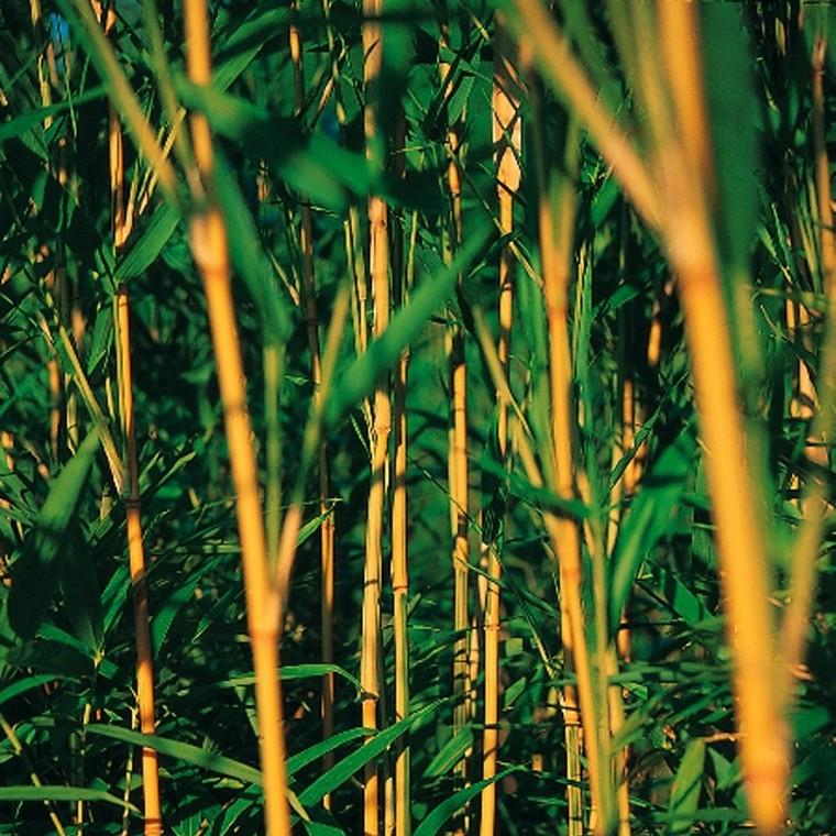 Bambou moyen pot de 15L