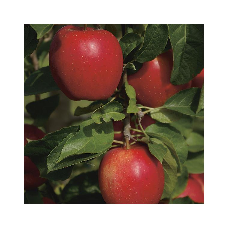 Pommier Delbard Divine® botanic® 155341