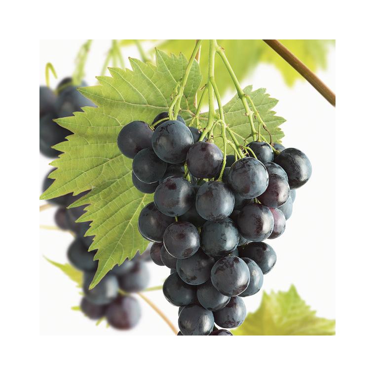 Vigne Muscat Bleu Le pot de 2 litres 155581