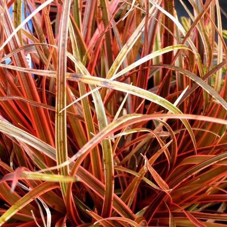 Uncinia rubra rouge en pot de 3 L 117035