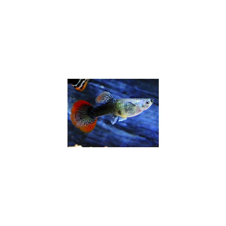 Guppy femelle 4 cm 15815