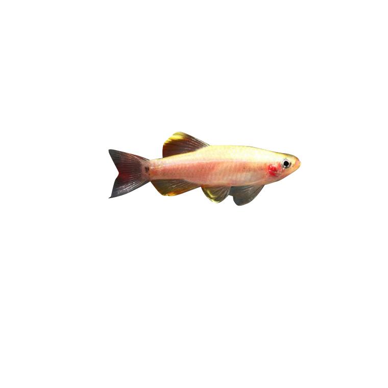 Poisson tanichthys gold de 3 cm