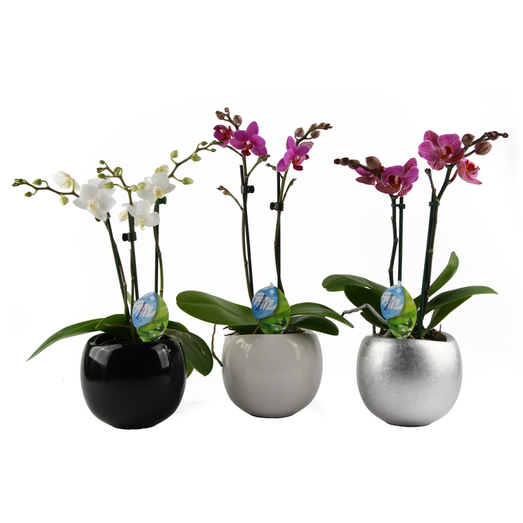 Phalaenopsis + Cache pot