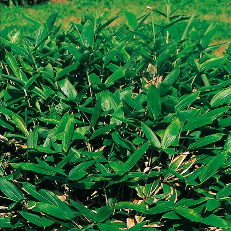 Bambou petit pot de 15L 160148
