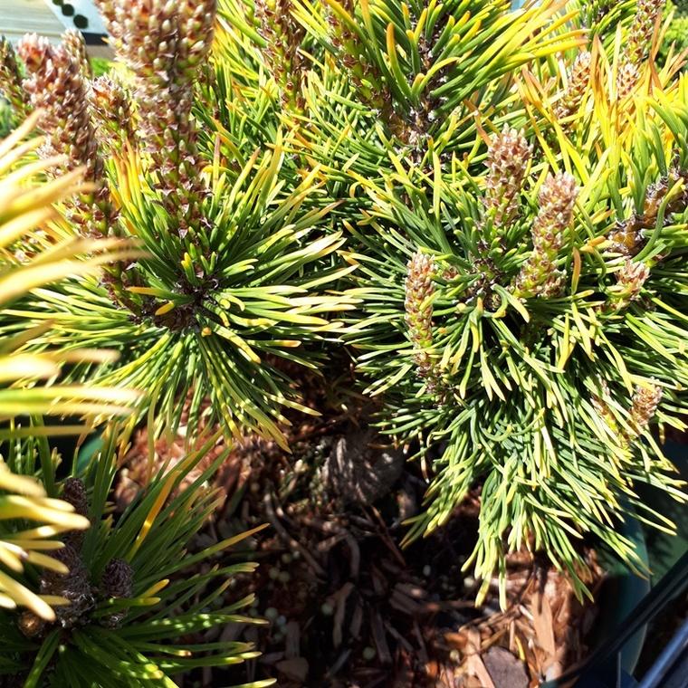 Pin de montagne (Pinus Mugo) Wintergold 40 cm. Le pot de 10 litres 166624