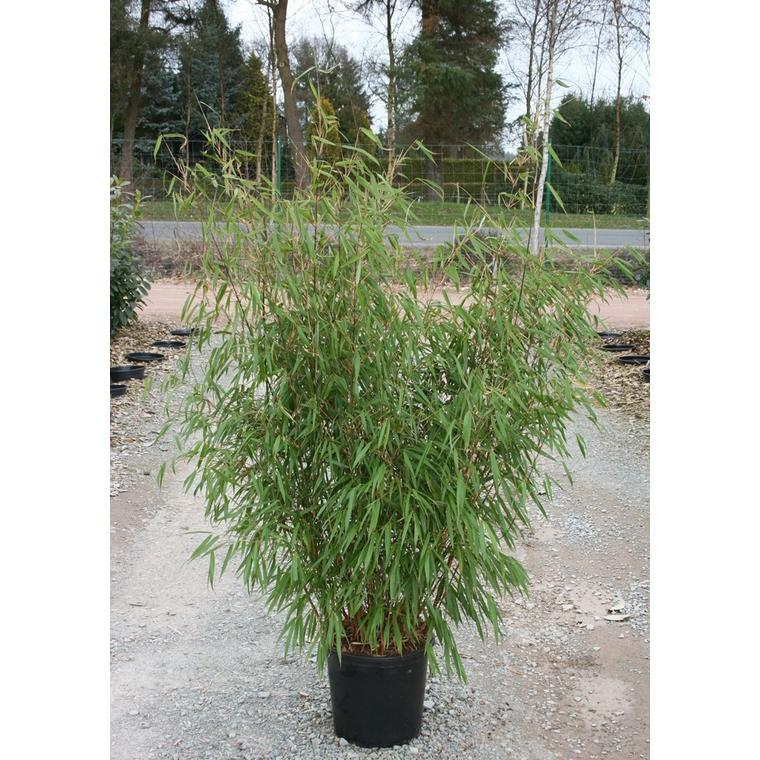 Bambou Fargesia Asian Wonder vert 100/125 cm Extra en pot de 15 L 166648