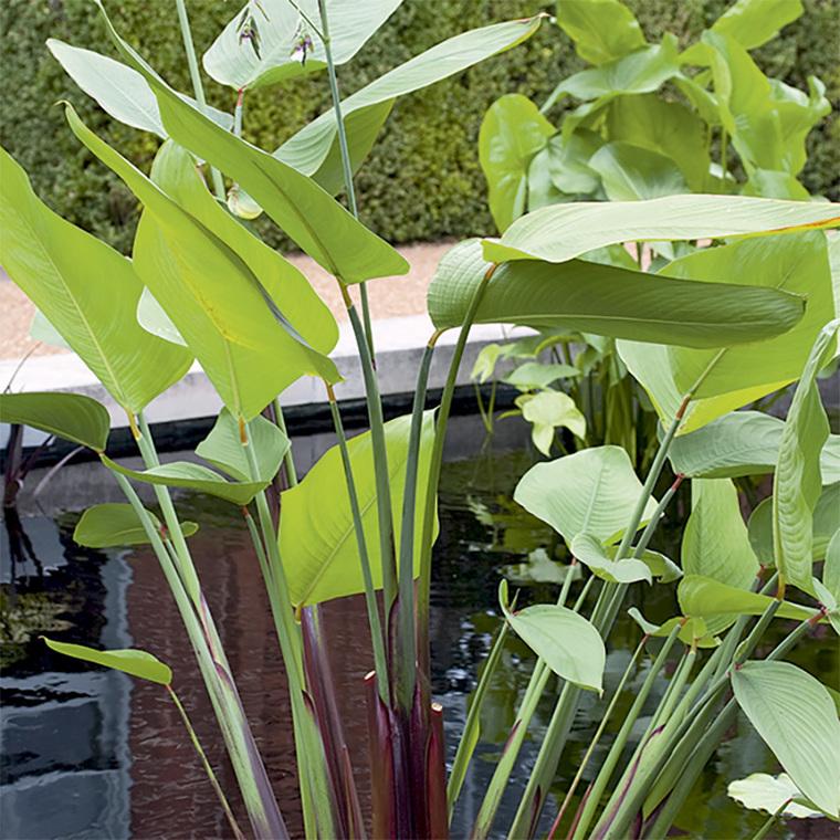 Thalia germinata pot de 3 litres 167912