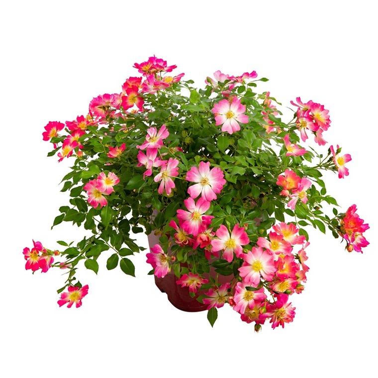 Rosier Eglantia varié – Pot de 4.6L