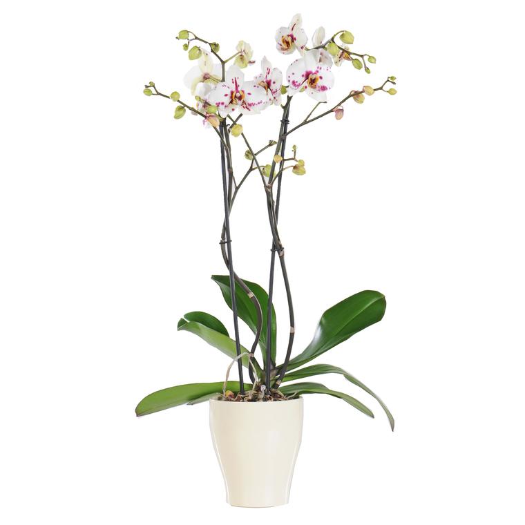 Orchidée Phalaenopsis + cache pot. Pot 15 cm 170729