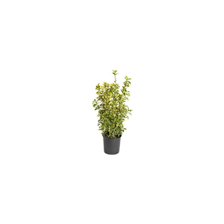 Euonymus Japonica Aureomarginatus en pot de 30 L 100/125 cm