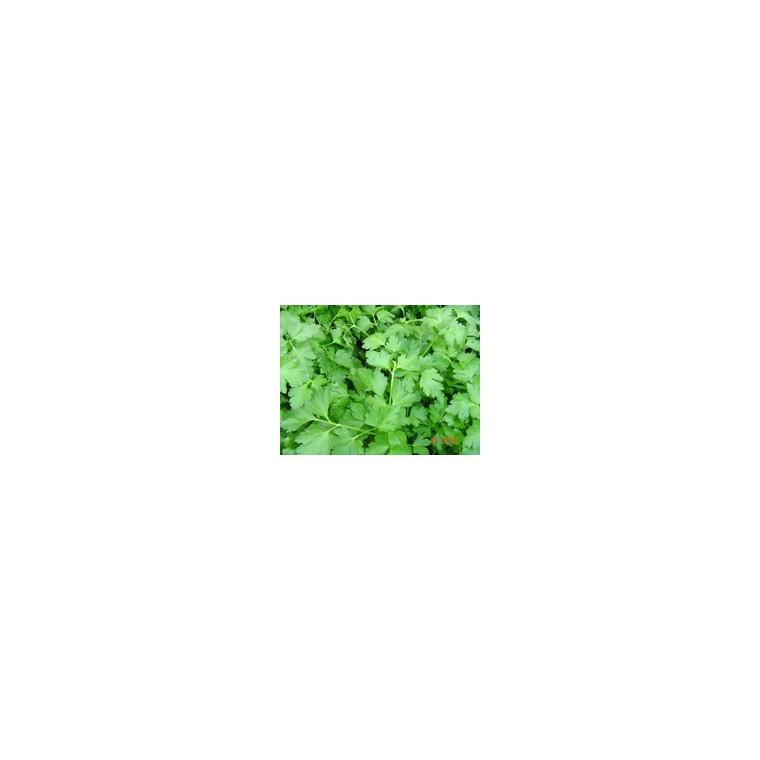 Persil Commun Dit Plat bio. Le pot recyclé de 2.5 litres 14890