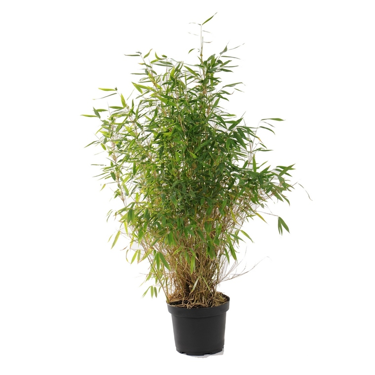 Bambou Fargesia rufa vert pot de 5L 177183