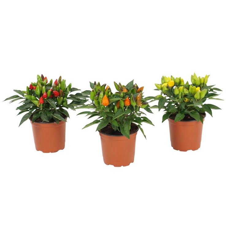 Capsicum Plante Baby en pot Ø 5,5/6 cm 180815