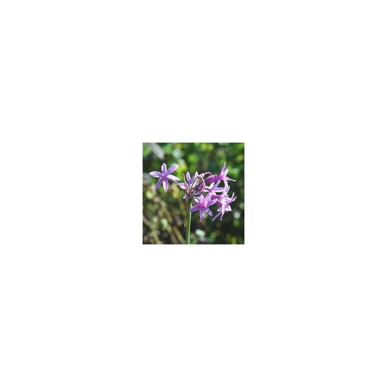 Tulbaghie violette godet 9x9x cm 320597