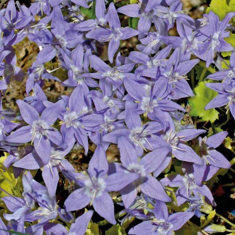 Campanule Bleue A Feuillage Jaune. Le pot de 9x9 cm 183425