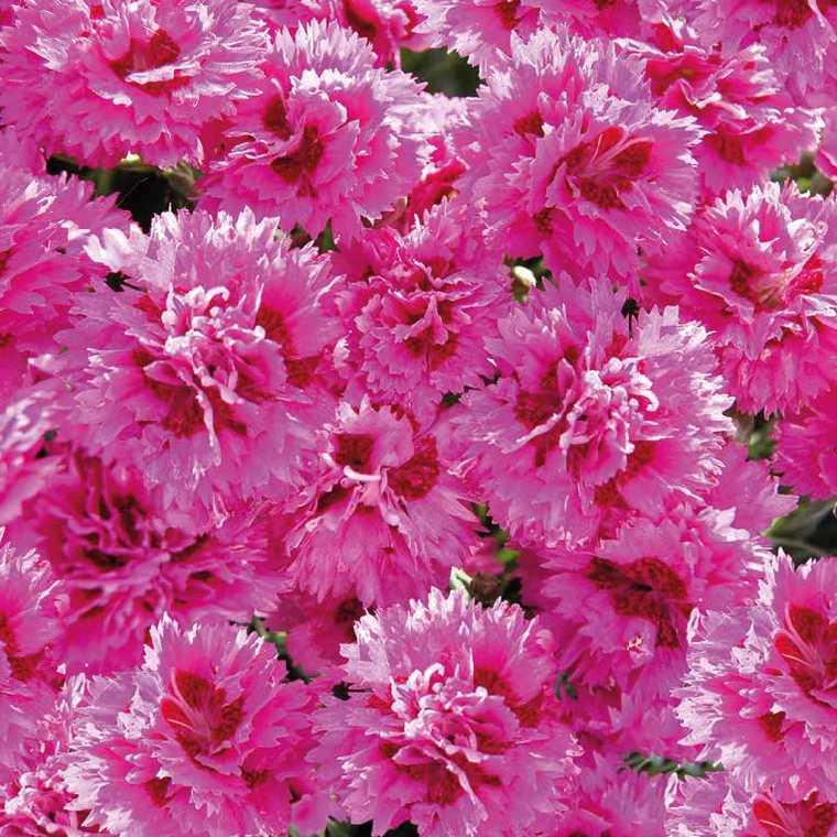 Oeillet Nain Violet-Rose. Le pot de 9x9 cm 183439