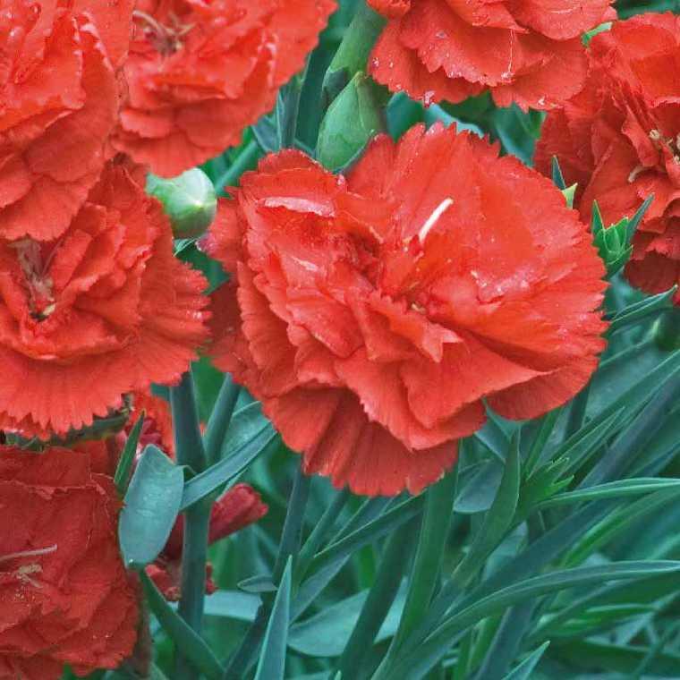 Oeillet Mignardise Orange. Le pot de 9x9 cm 183455