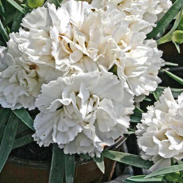 Oeillet Mignardise Blanc. Le pot de 9x9 cm 183458