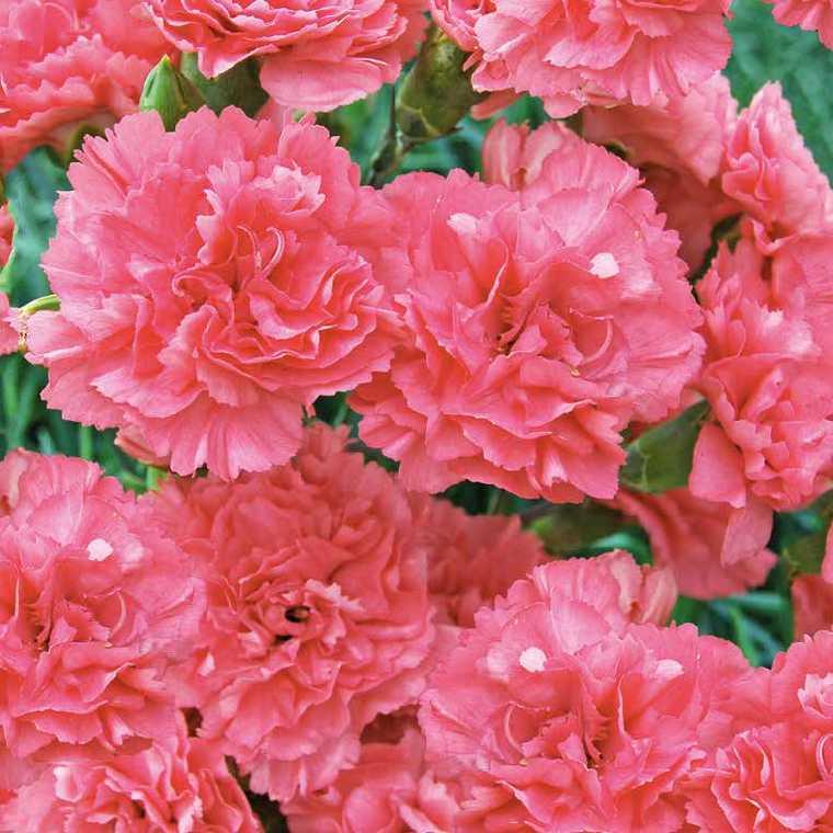 Oeillet Mignardise Rose Claire. Le pot de 9x9 cm 183459