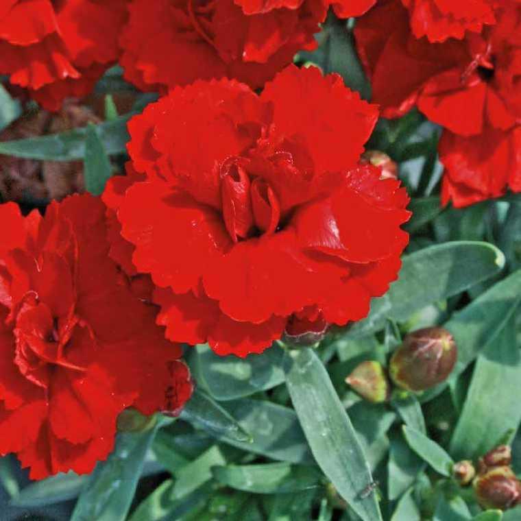 Oeillet Mignardise Rouge Vermillon. Le pot de 9x9 cm 183462