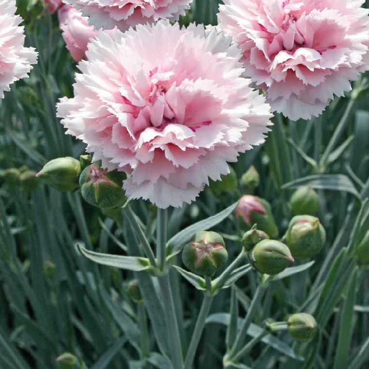Oeillet Mignardise Rose Frange. Le pot de 9x9 cm 183464
