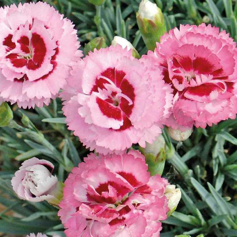 Oeillet Mignardise Rose A Oeil Rouge. Le pot de 9x9 cm 183465
