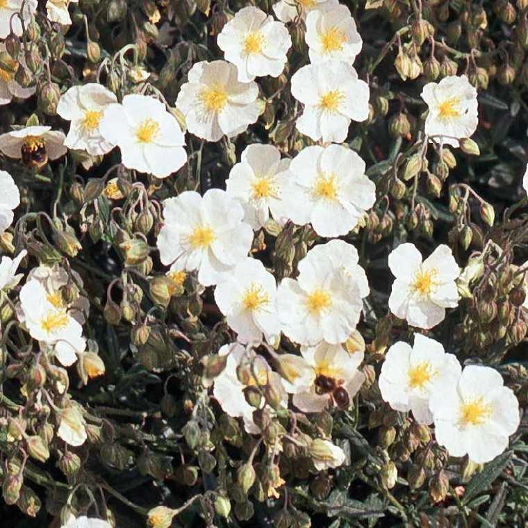 Helianthème  Blanc. Le pot de 9x9 cm 183480