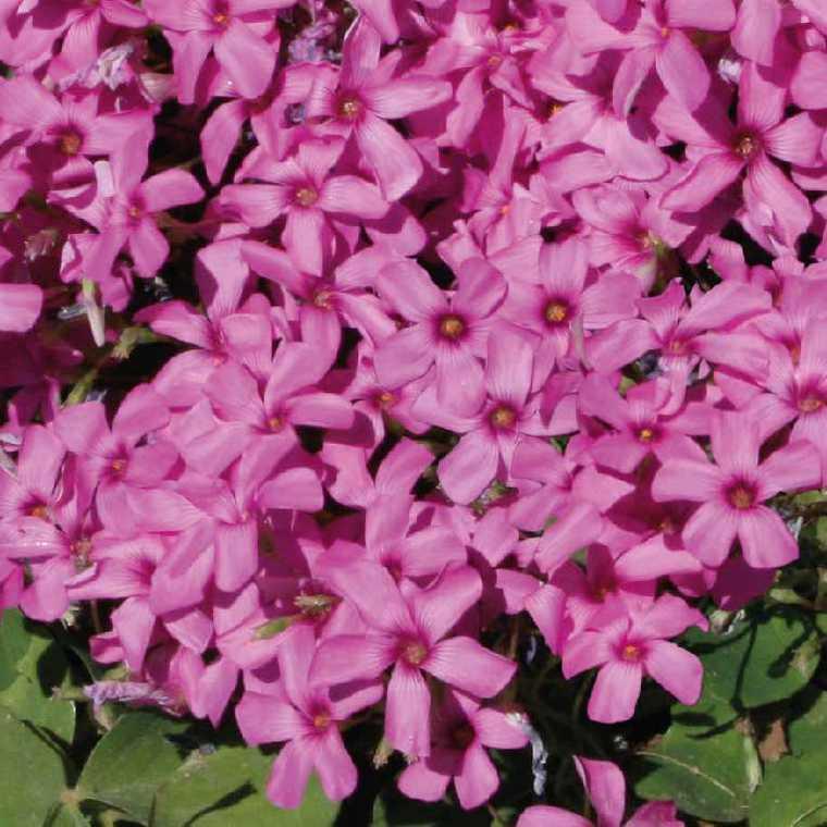 Oxalis trèfle à 4 feuilles. Le pot de 9x9 cm 183503