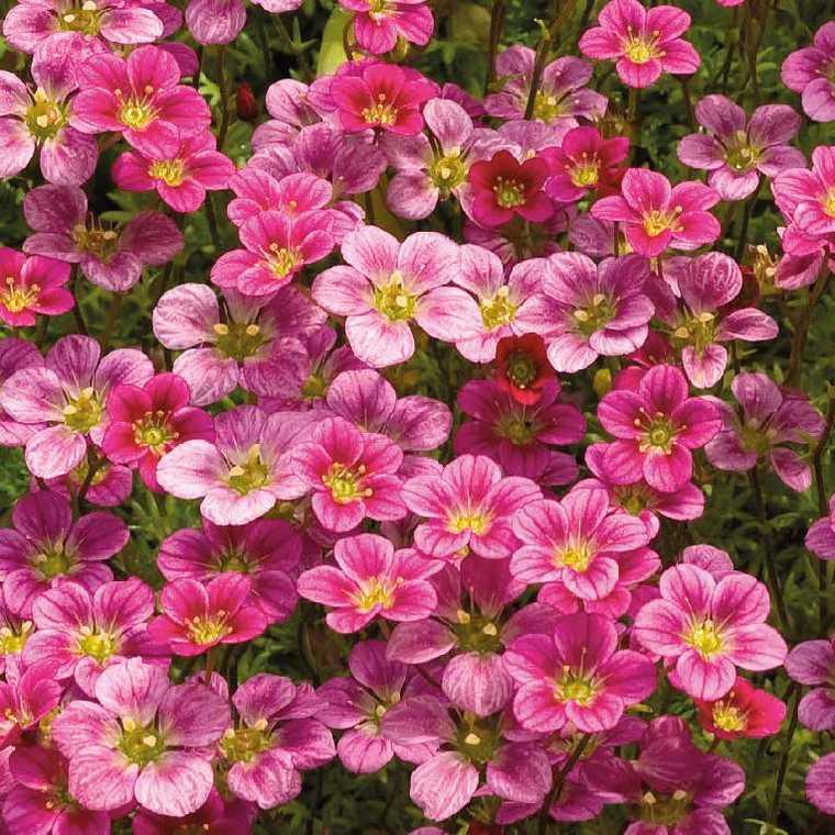 Saxifrage Mousse Rose. Le pot de 9x9 cm 183518