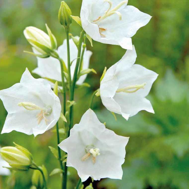 Campanule Persicifolia Blanche. Le pot de 9x9 cm 183559