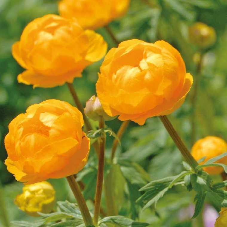 Trolle  Jaune-Orange. Le pot de 9x9 cm 183610
