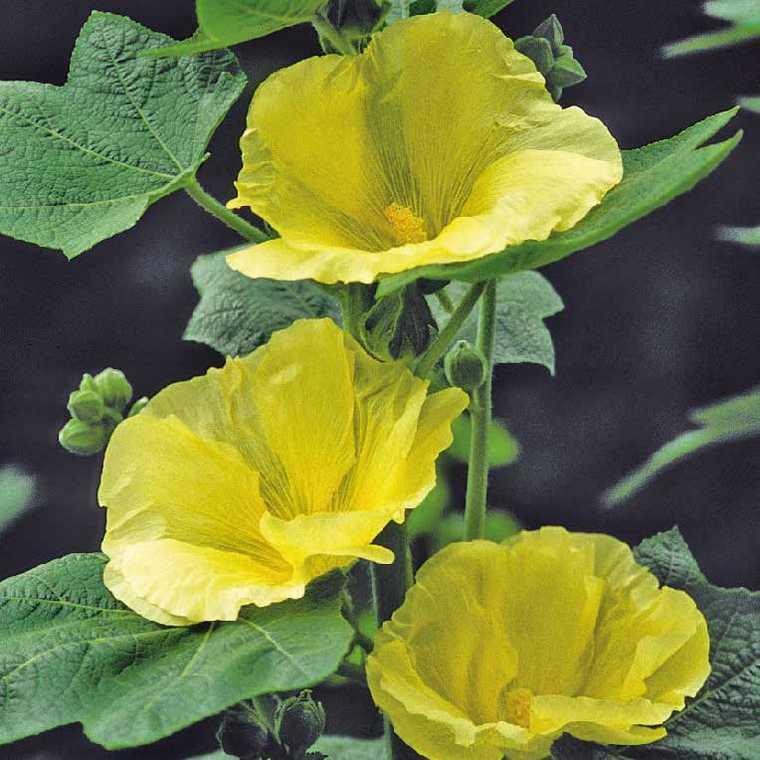 rose tr mi re sunshine fleur simple jaune vif le pot de. Black Bedroom Furniture Sets. Home Design Ideas
