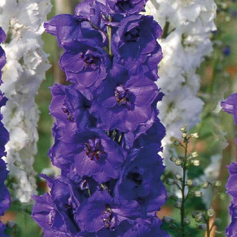 Pied D'Alouette  Violet-Noir. Le pot de 9x9 cm 183628