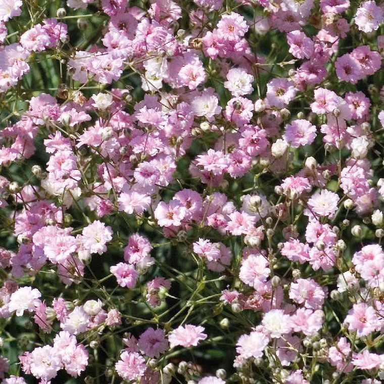 Gypsophile Rose Double. Le pot de 9x9 cm 183638
