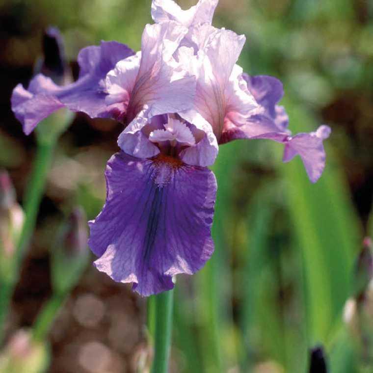 Iris Des Jardins Blanc-Bleu. Le pot de 9x9 cm 183639