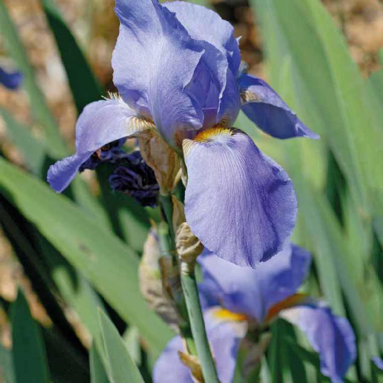 Iris Des Jardins Bleu. Le pot de 9x9 cm 183640