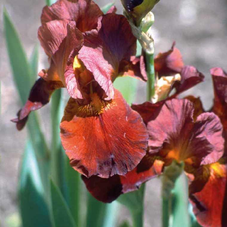 Iris Des Jardins Rouge. Le pot de 9x9 cm 183641