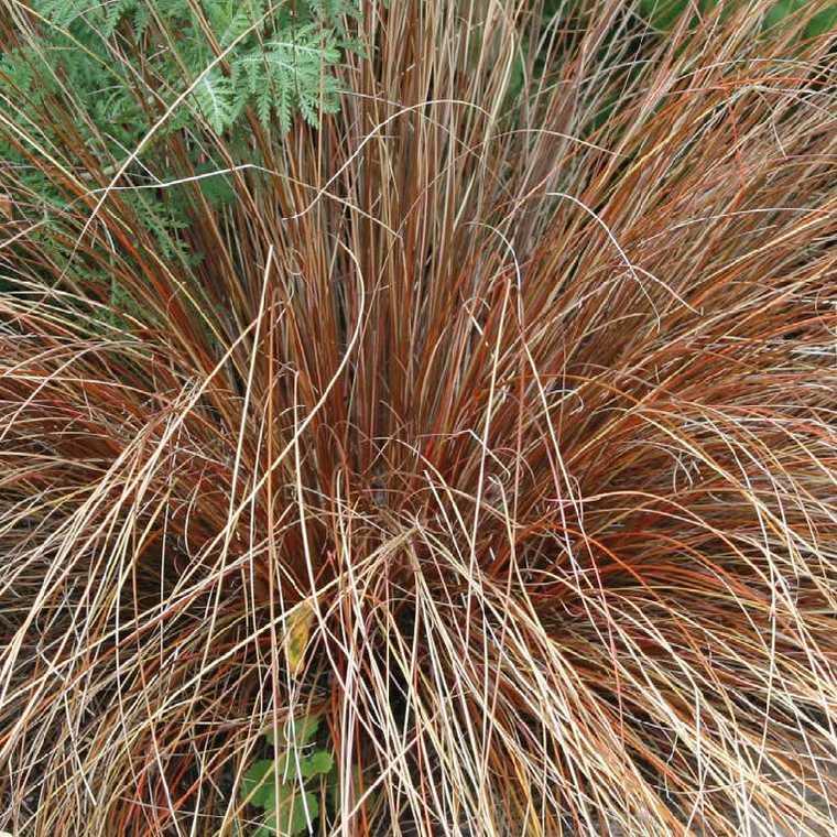 Carex Testacea. Le pot de 9x9 cm 183659