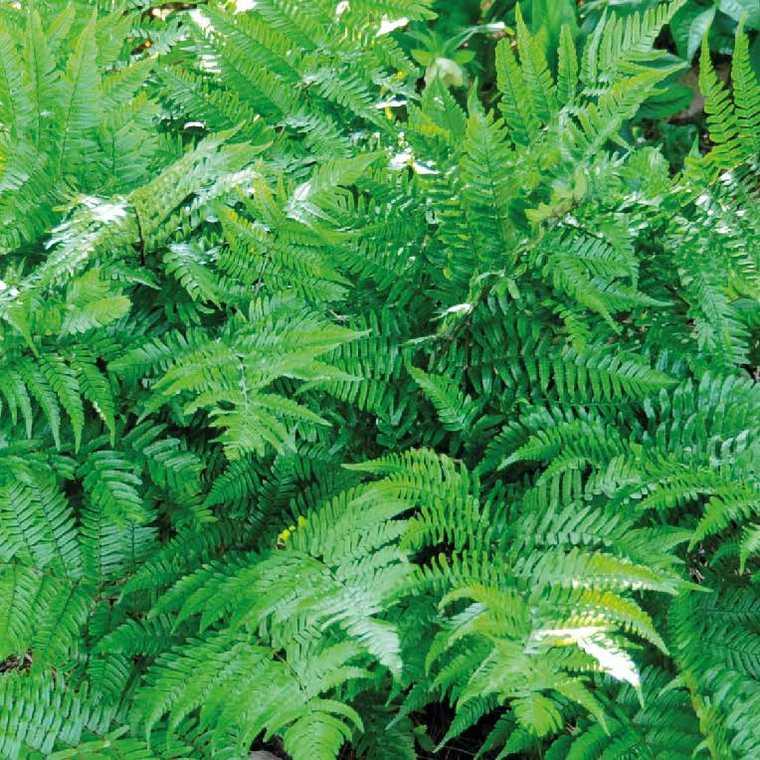 Fougère vivace Dryopteris. Le pot de 9x9 cm 183671