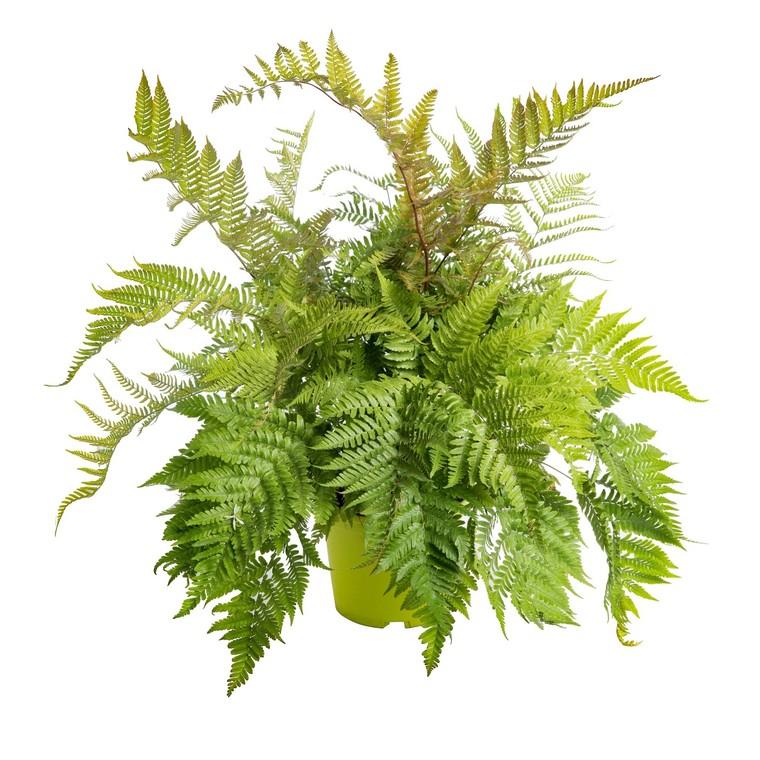 Fougère vivace Polystichum. Le pot de 9x9 cm 183673