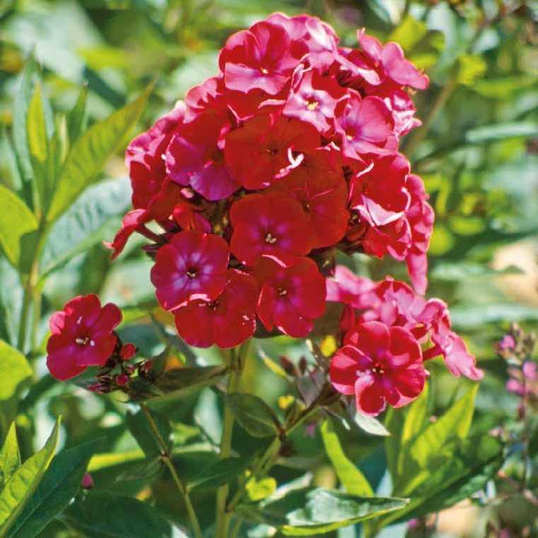 Phlox Paniculata Rouge. Le pot de 9x9 cm 183682
