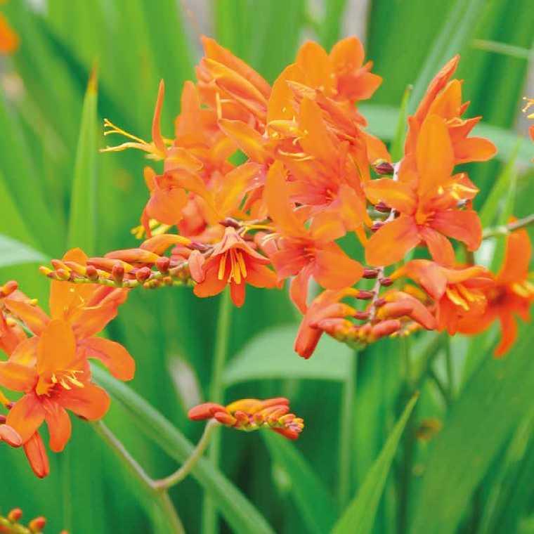 Crocosmia  Orange. Le pot de 9x9 cm 183688