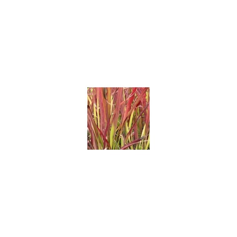 Imperata Cylindrica Red Baron. Le pot de 3 litres 184329