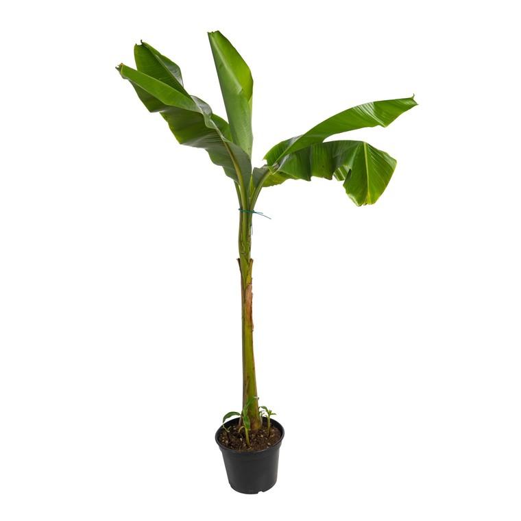 Bananier Musa Bajoo - pot 5 L 184999