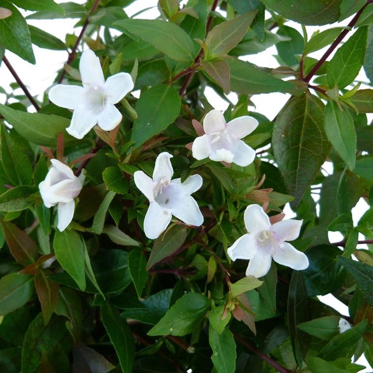 Abélia Grandiflora. Le pot de 5 litres 185114