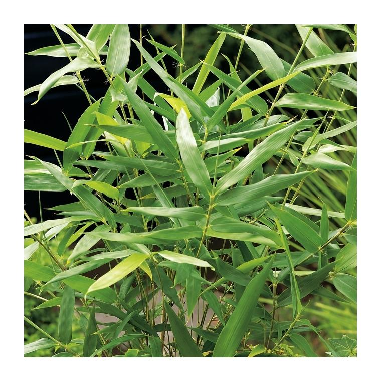 Bambou (BAMBOU ARUNDINARIA METAKE) Le pot de 12 litres 185892