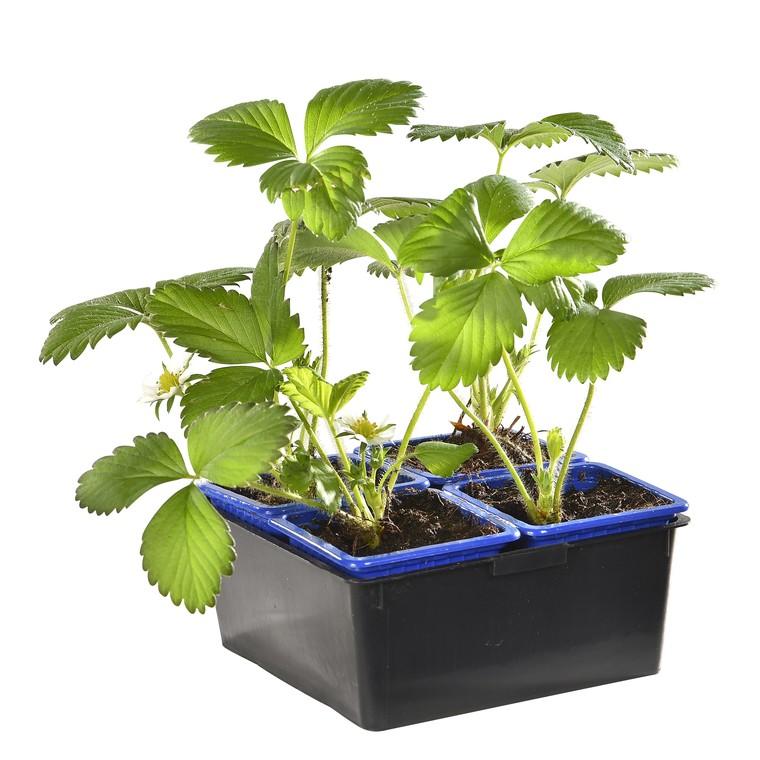 Fraisiers bio. La barquette de 4 plants 190408