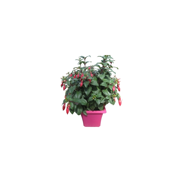 Fuchsia érigé. Le pot de 2,5 litres