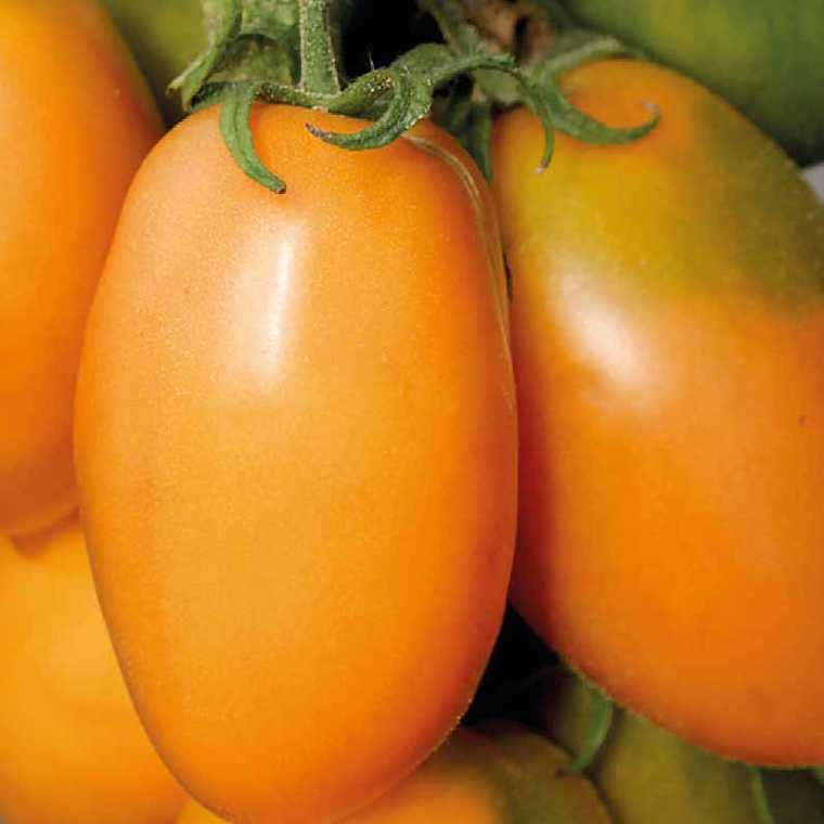 Tomate allongée Orange  Banana. Le pot compostable de 10,5 cm 191090